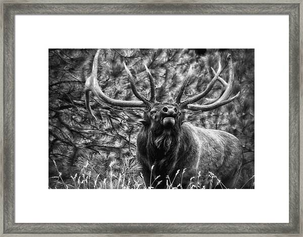 Bull Elk Bugling Black And White Framed Print