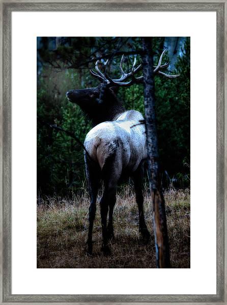 Bull Elk In Moonlight  Framed Print