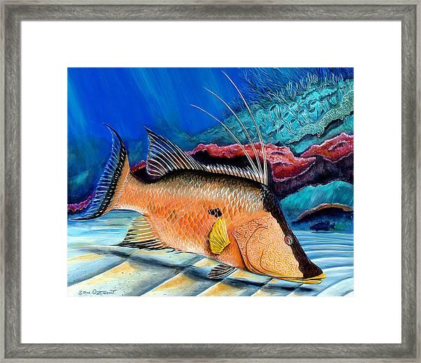 Bull Hogfish Framed Print