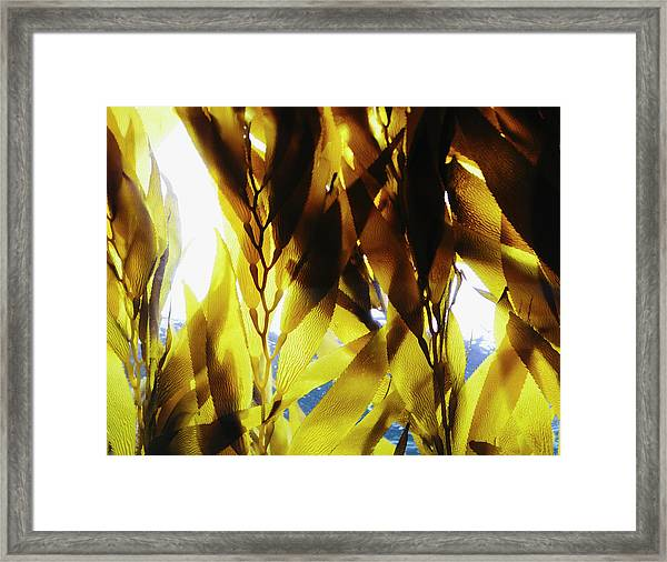 Bull Kelp In The Water In An Enclosure Framed Print by Mint Images - Paul Edmondson