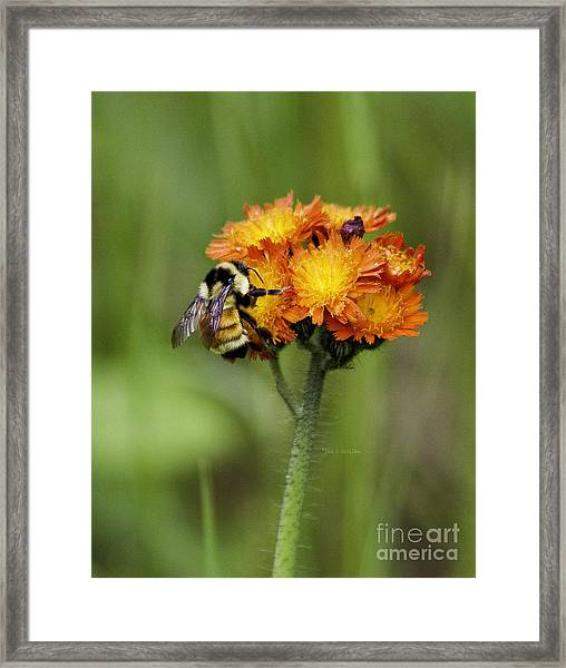 Bumble And Hawk Framed Print