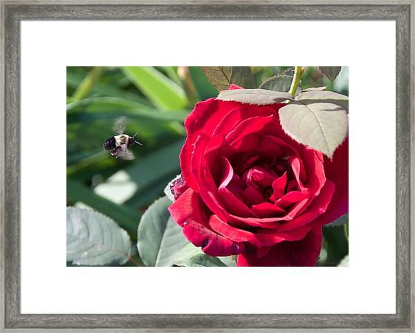 Bumble Bee Heading To The Rose Framed Print