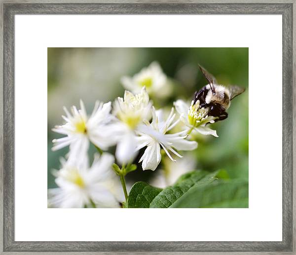 Bumble Bee On Clematis Framed Print by Ginger Wagner