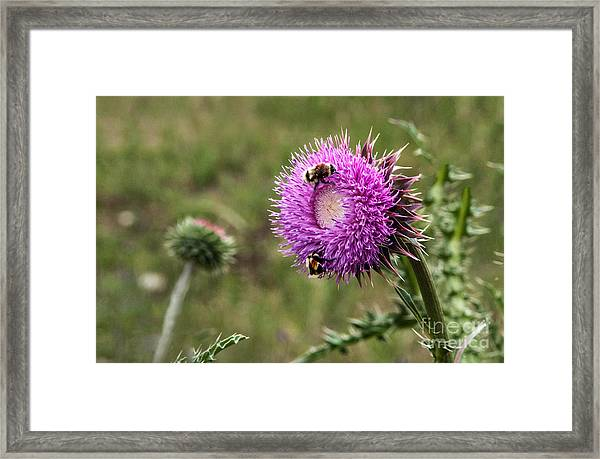 Framed Print featuring the photograph Bumble Bees by Mae Wertz