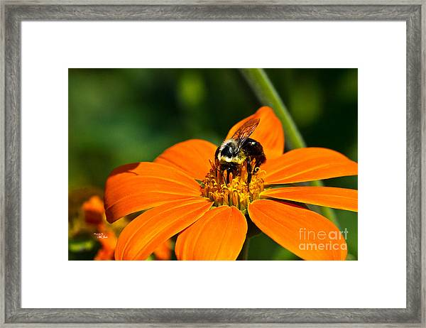 Bumblebee Hard At Work Framed Print
