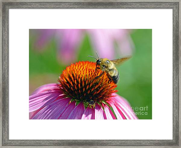 Bumblebee On A Coneflower Framed Print