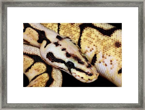 Bumblebee Royal Python Framed Print