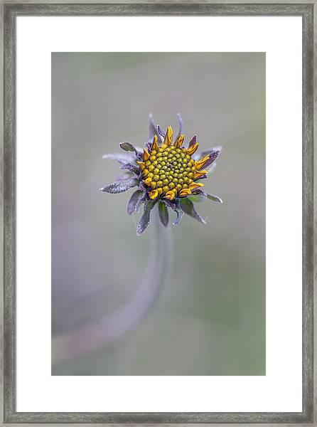 Bush Sunflower Opening Framed Print