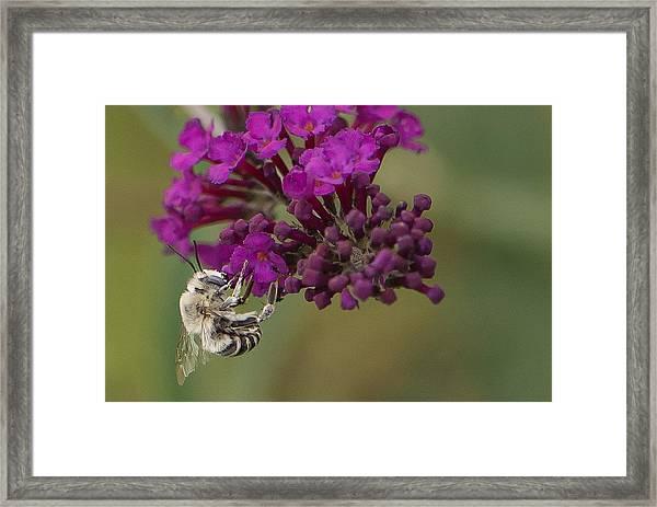 Busy Bee Framed Print