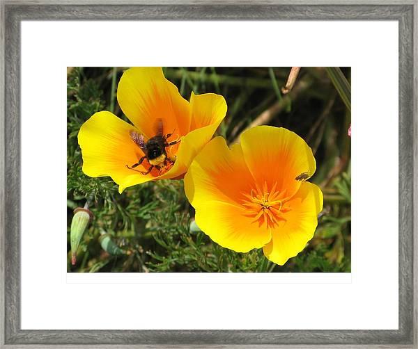 Busy Bee Framed Print by Jill Bell