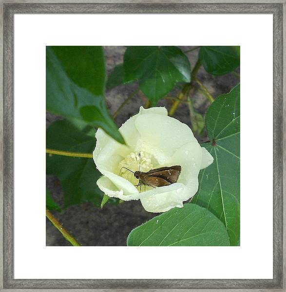 Buttercup #3- Blooming Cotton Series - 8/5/2012 Framed Print by Dianna Jackson