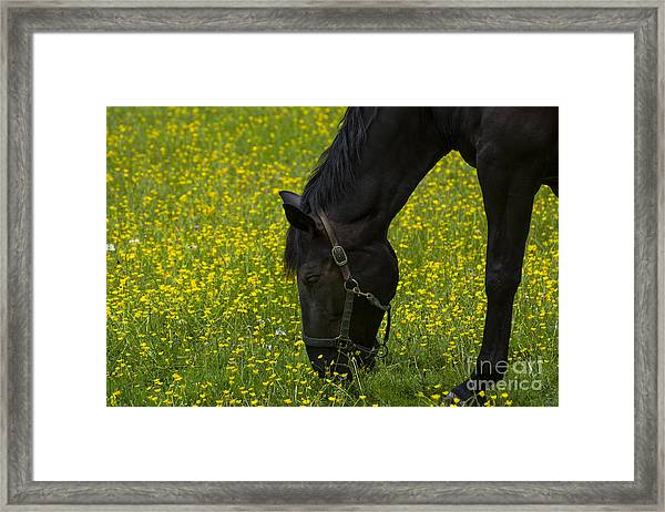 Buttercup Food Framed Print