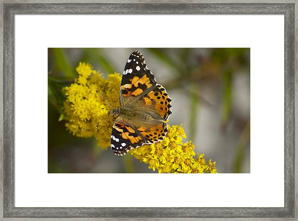 Butterfly And Goldenrod Framed Print