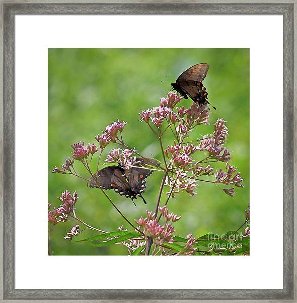 Butterfly Duet  Framed Print