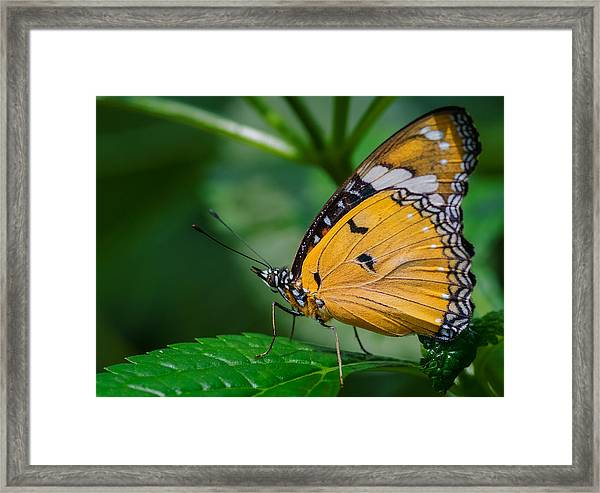 Framed Print featuring the photograph Butterfly  by Garvin Hunter