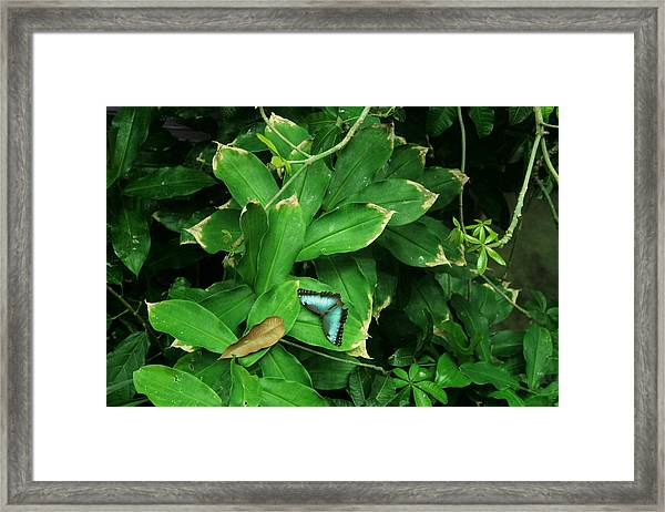 Butterfly In Rain Forest Framed Print