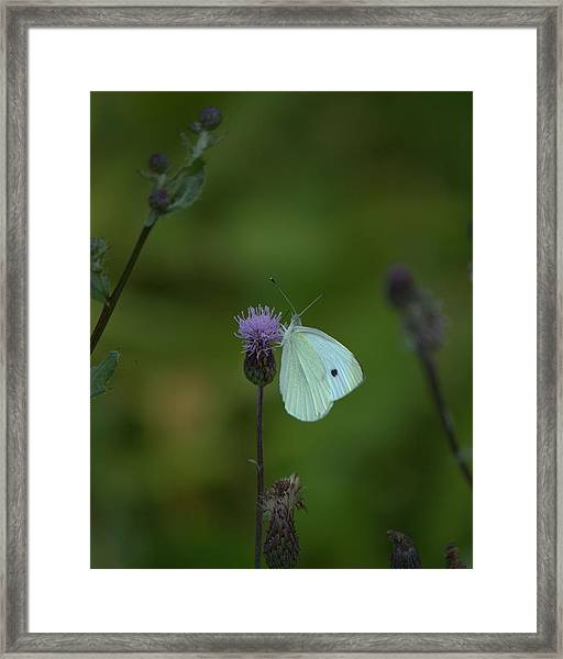 Butterfly In White 2 Framed Print