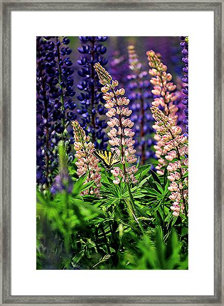 Butterfly On Lupine Framed Print