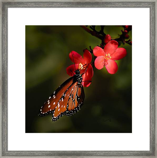 Butterfly On Red Blossom Framed Print