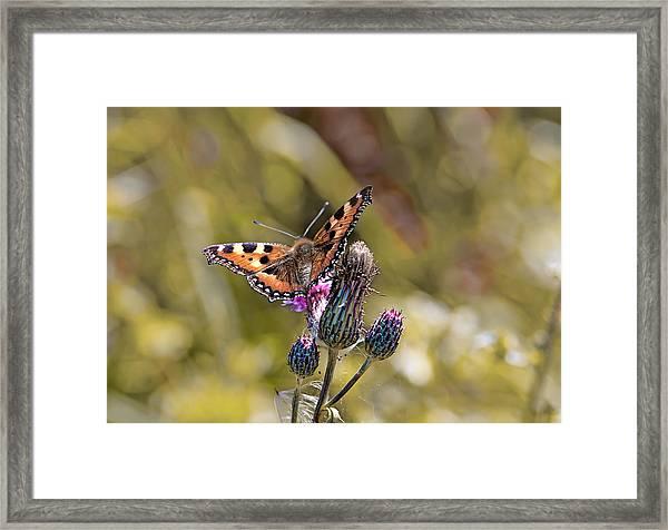 Butterfly On Tistle Sep Framed Print