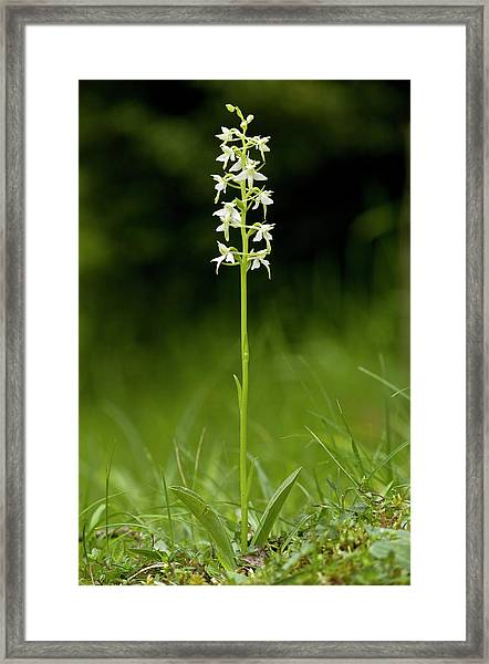 Butterfly-orchid (platanthera Bifolia) Framed Print
