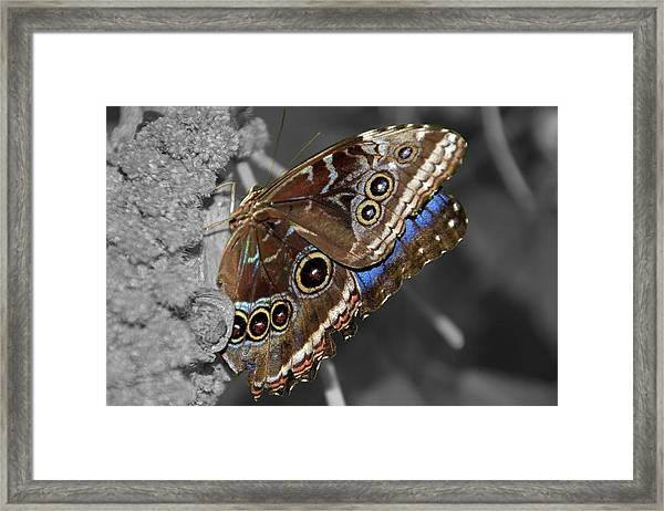 Framed Print featuring the photograph Butterfly Spot Color 1 by Bob Slitzan