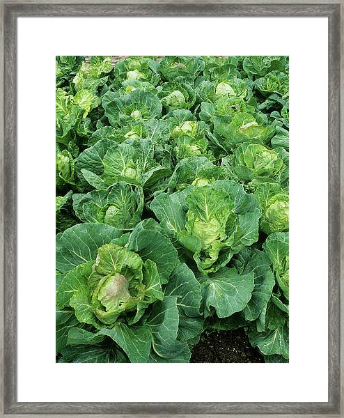 Cabbage (brassica 'golden Acre Primo II') Framed Print by Geoff Kidd/science Photo Library