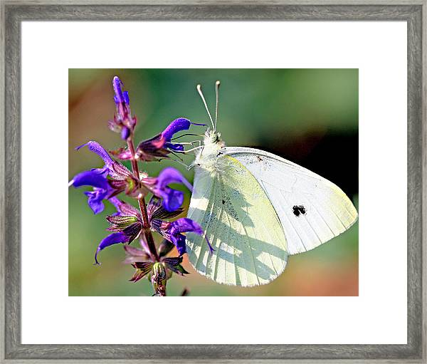 Cabbage White Butterfly Framed Print by Brian Magnier