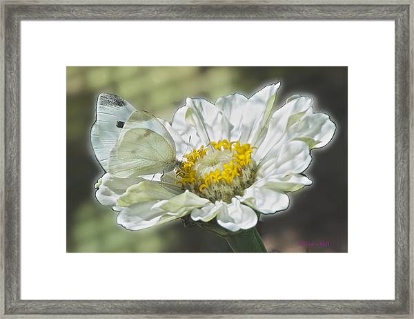 Cabbage White Butterfly On Zinnia 2 Framed Print