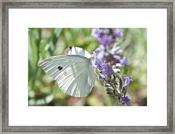 Cabbage White On Lavender  Framed Print