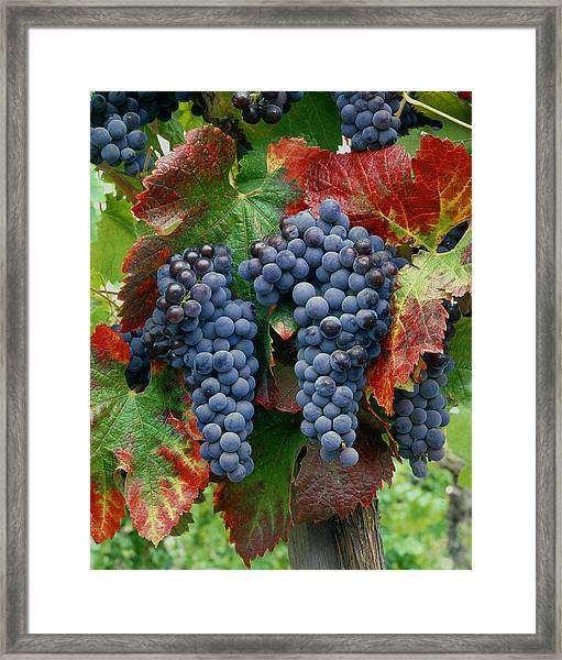 5b6374-cabernet Sauvignon Grapes At Harvest Framed Print