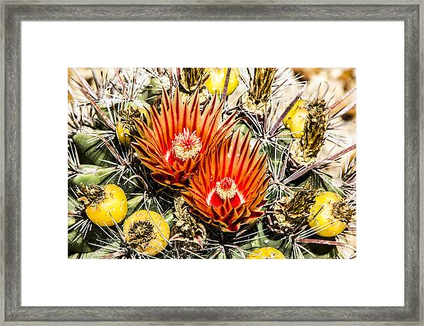 Cactus Flowers And Fruit Framed Print