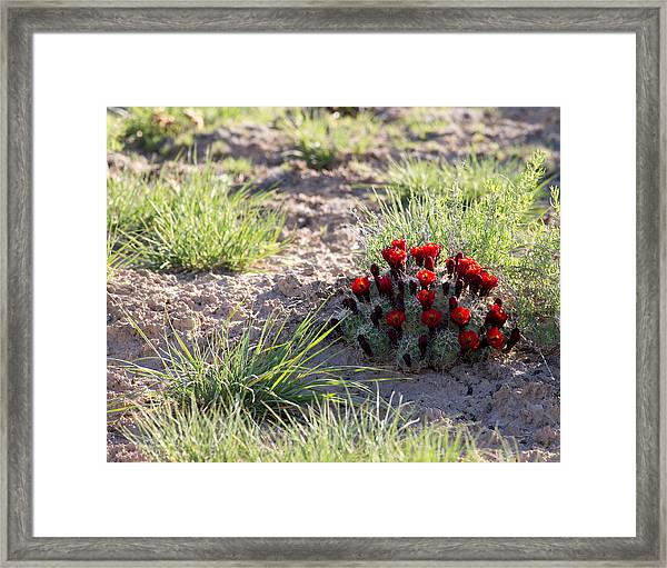 Cactus Flowers Framed Print by Brian Magnier