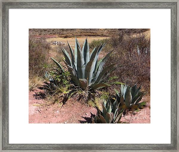 Cactus In Peru Framed Print