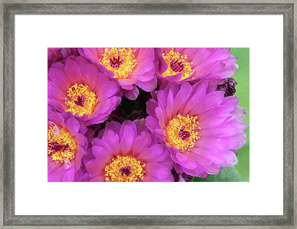 Cactus Notocactus Uebelmannianus Framed Print by Nigel Downer/science Photo Library