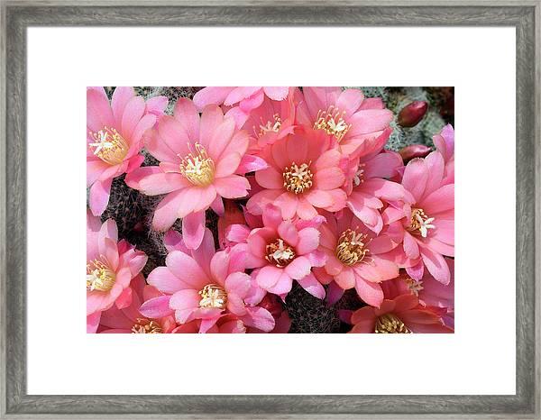 Cactus Rebutia Albiflora Framed Print by Nigel Downer/science Photo Library