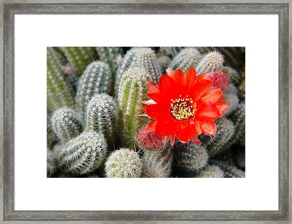 Cactus With Orange Flower.  Framed Print