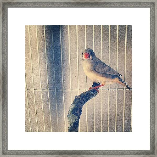 Caged Bird Framed Print