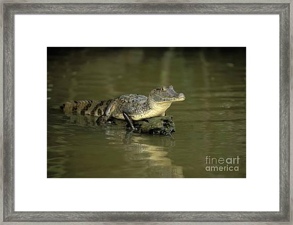 Caiman Crocodile Framed Print