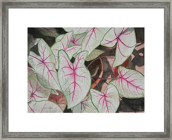 Caladiums Framed Print