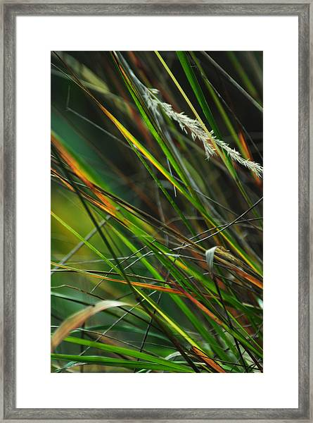 Calamagrostis Lines Framed Print