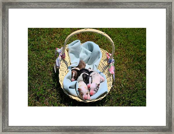 Calicos Pups At Two Days Framed Print