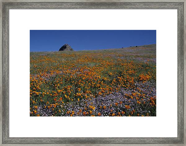 California Gold Poppies And Baby Blue Eyes Framed Print