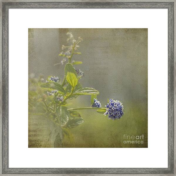 California Lilac Framed Print