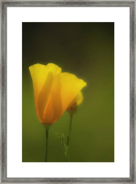 California Poppies 2 Framed Print