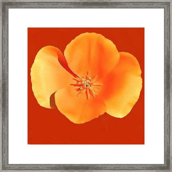 California Poppy Painting Framed Print