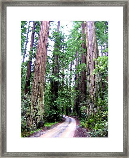 California Redwoods 1 Framed Print