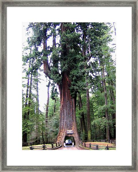 California Redwoods 6 Framed Print