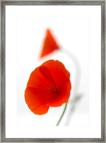 Californian Poppies 2 Framed Print
