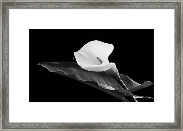 Calla Lily Flower Framed Print